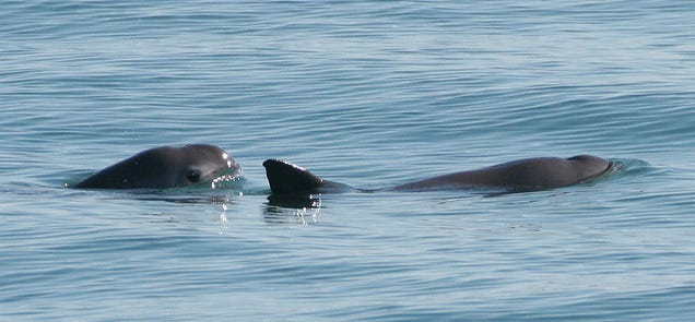 A pair of endangered vaquita porpoises. Photo: Paula Olson, NOAA [Public domain], via Wikimedia Commons