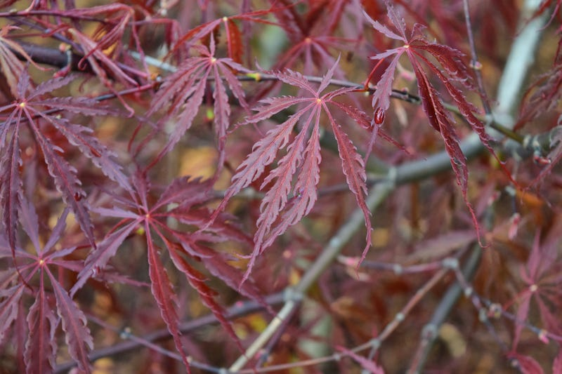Illustration for article titled Japanese Maple