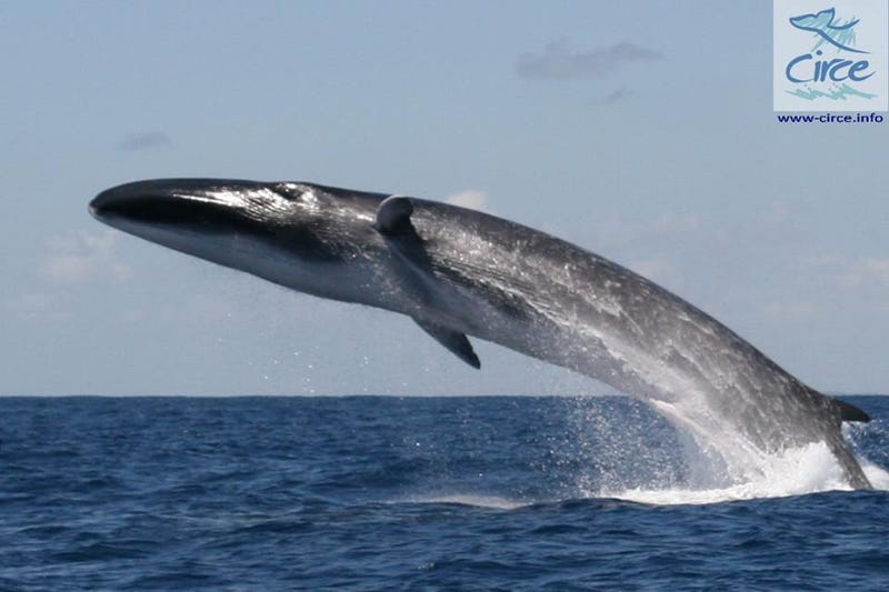 Illustration for article titled Super Rare Footage of the World's Fastest Whale