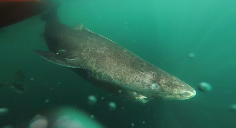 The Greenland shark has just been named the longest-lived vertebrate, with a lifespan of up to 400 years. Image: Julius Nielsen