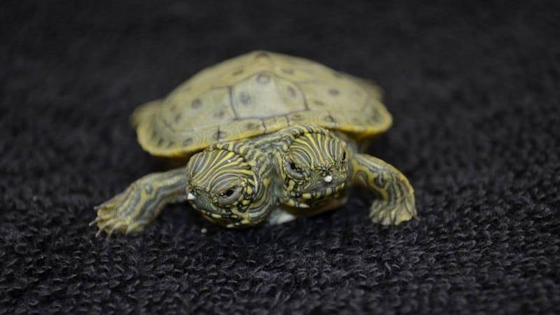 Illustration for article titled Kétfejű teknős született egy texasi állatkertben. Elképesztően cuki!