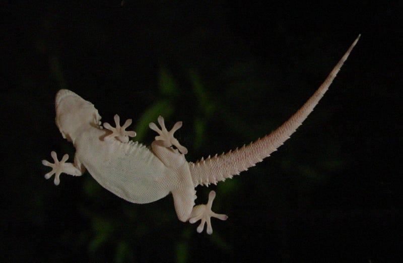 Illustration for article titled Un hombre muere en Australia 10 días después de comerse un lagarto por una apuesta en una fiesta
