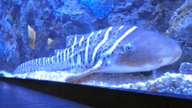 Zebra Shark Has Babies Without a Male After Years of Isolation
