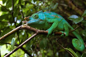 Illustration for article titled Chameleons Use Color to Communicate, Not Hide