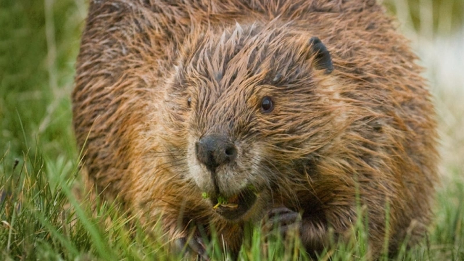 A Beaver's Teeth Mountain beaver...
