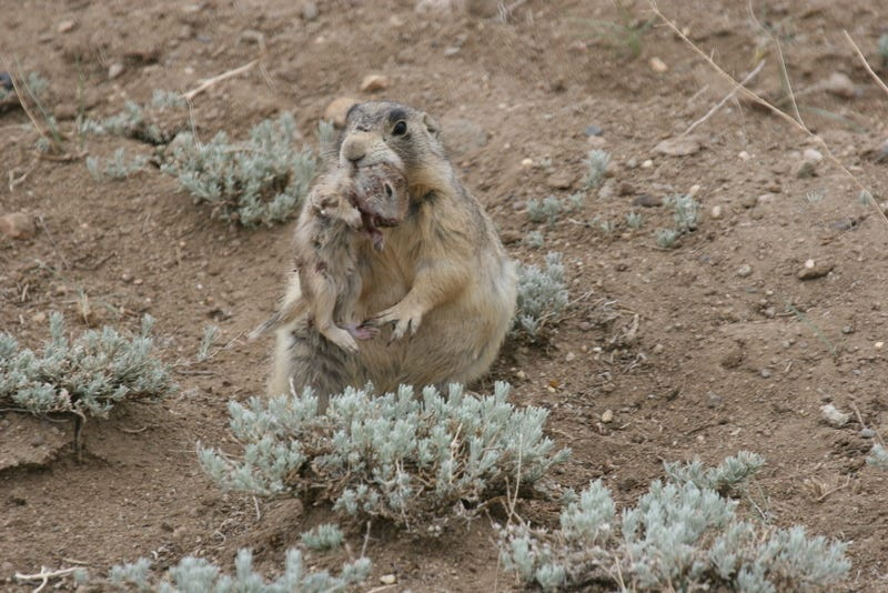 A cold-blooded prairie dog just murdered a hapless ground squirrel. Image Credit: John Hoogland