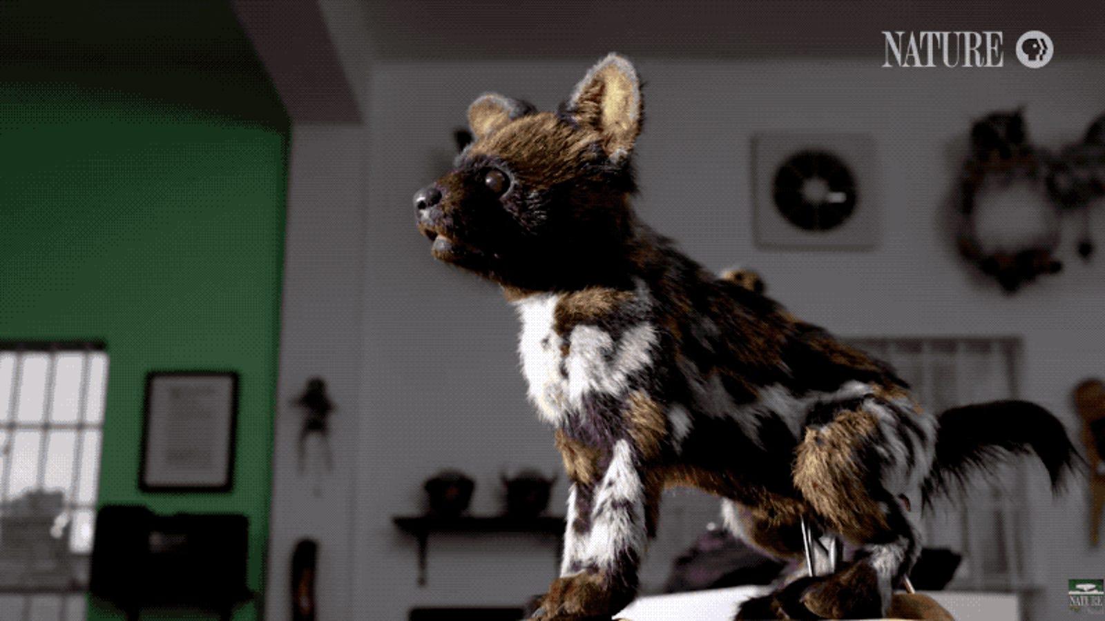 Así son por dentro las sofisticadas marionetas que emplea la BBC para grabar animales con cámara oculta