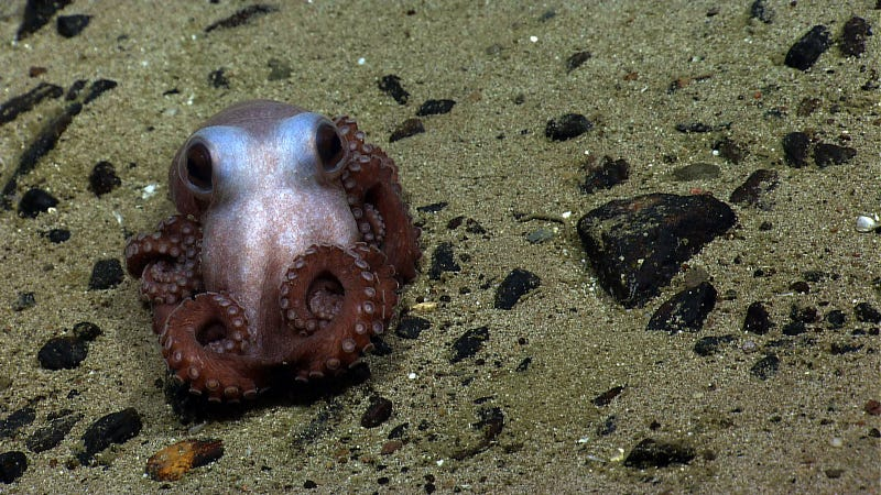 Illustration for article titled Stop And Admire This Charismatic, Saucer-Eyed Octopus