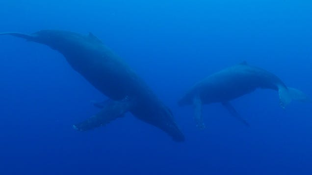 Two humpback whales encountered during the exploration.