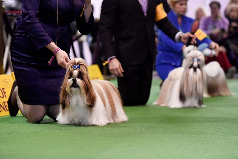Illustration for article titled The Westminster Dog Show Is The Past And Future Of Obsessive Dog Ownership