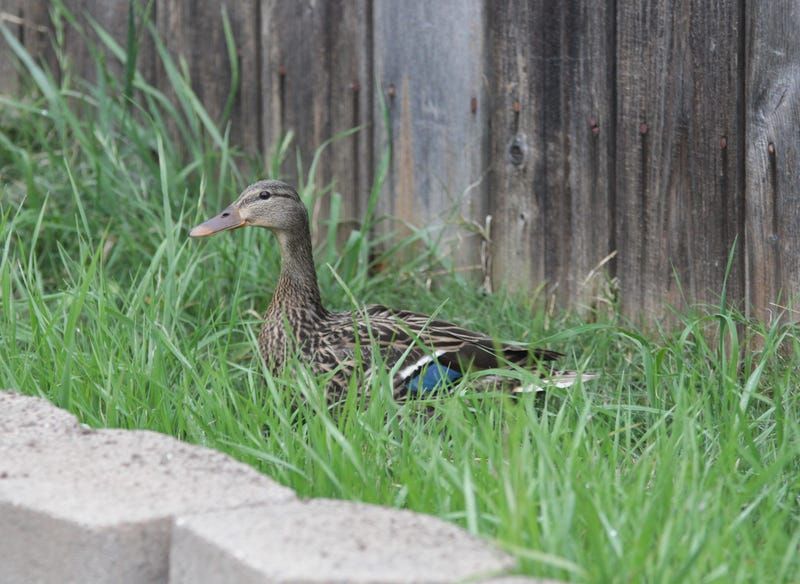 Illustration for article titled There was a duck in my backyard this morning.