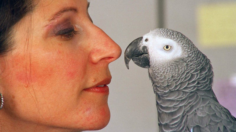 Alex the African gray parrot and animal psychologist Irene Pepperberg back in 1991.