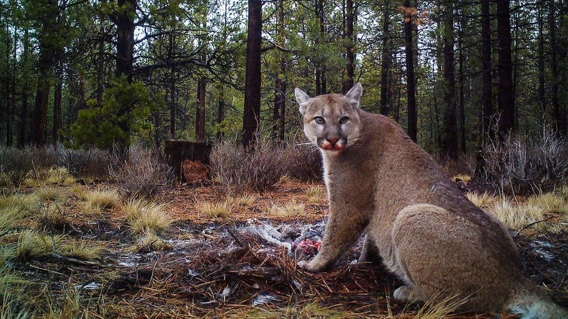 This puma (not involved in the study) fed on a single deer for five days. New research suggests these feedings can be interrupted by the puma's fear of humans, requiring them to hunt more often. (Image: Jon Nelson/Flickr)