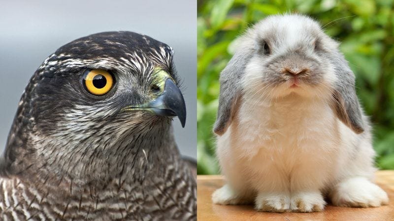 Illustration for article titled We Put A Falcon And A Rabbit In The Same Room Together. What Happened Will Not Surprise You.