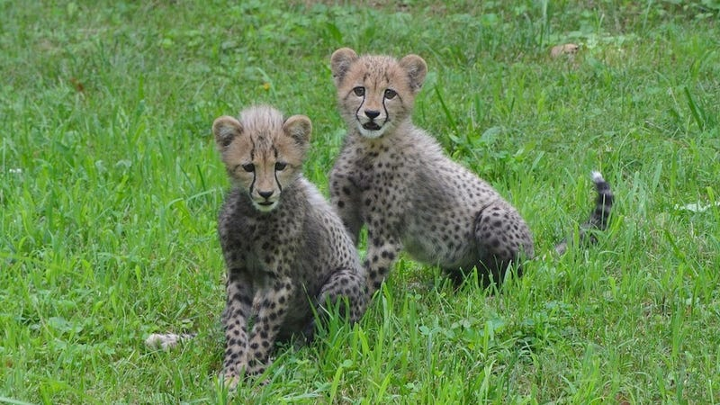 Illustration for article titled Olympic Sprinters Will Be Running Not Only For Gold, But For These Frigging Adorable Baby Cheetahs