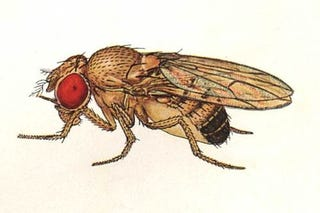 Illustration for article titled The Mystery Of The Fruit Fly Penis Solved With Lasers