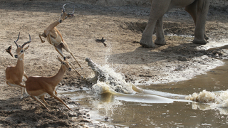 Illustration for article titled Incredibly tense images show impala escaping a crocodile attack