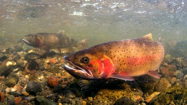 The West's Megadrought Has Ruined Some of the Most Iconic Trout Fishing in the U.S.