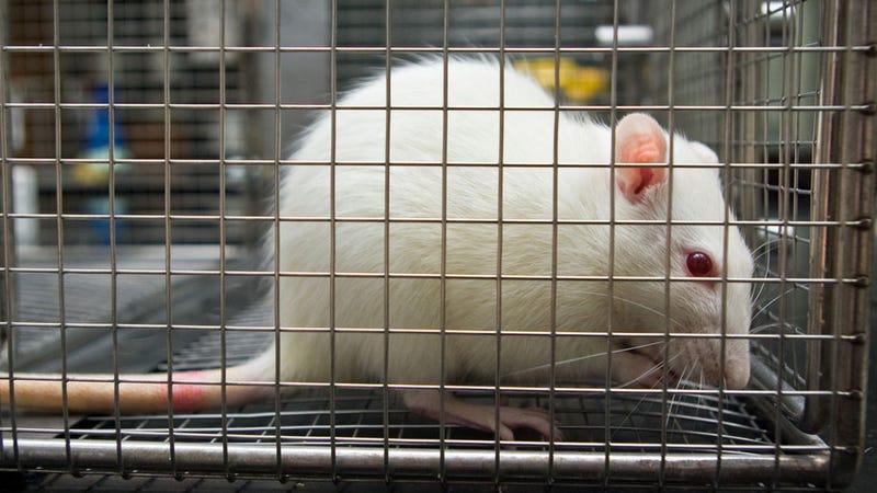 Illustration for article titled A kísérleti egerek is megsínylik a kormányzati leállást