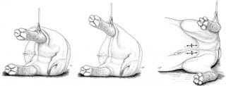 Illustration for article titled And this is the best way to castrate a hippo