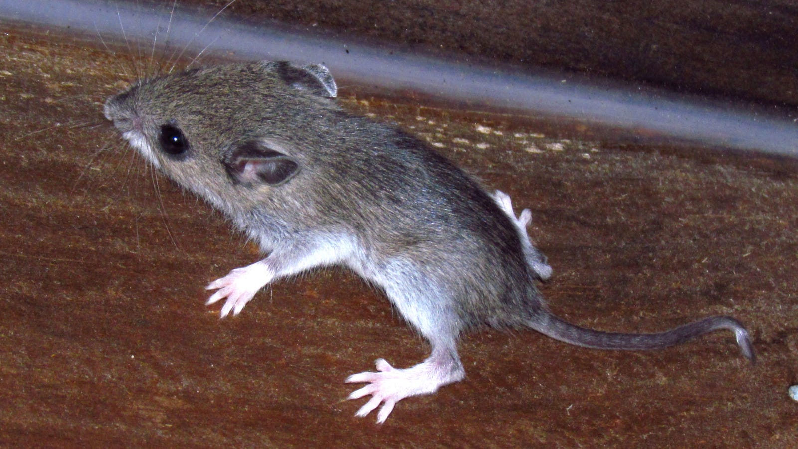 Mice Are Evolving to Survive Life in New York City