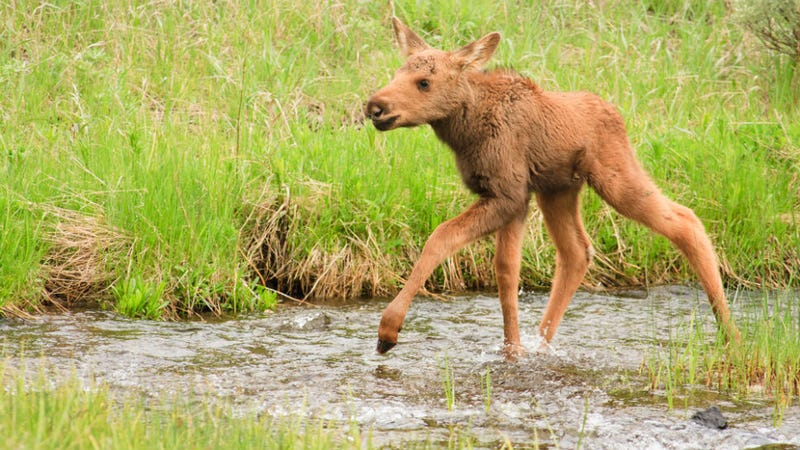 Illustration for article titled Please Stop Touching All Those Adorable Baby Moose in Alaska