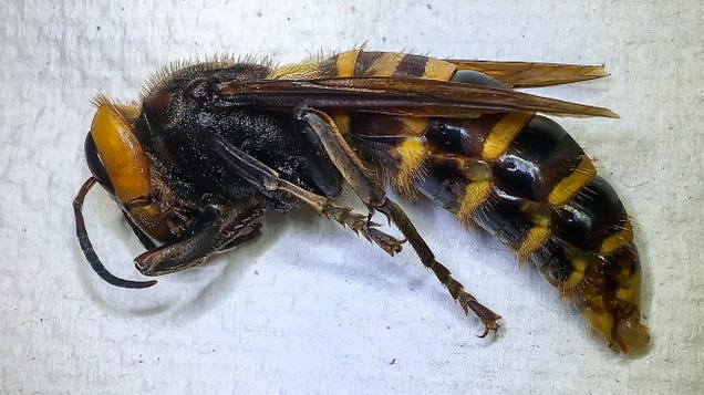 One Murder Hornet Down (Don t Ask How Many to Go)