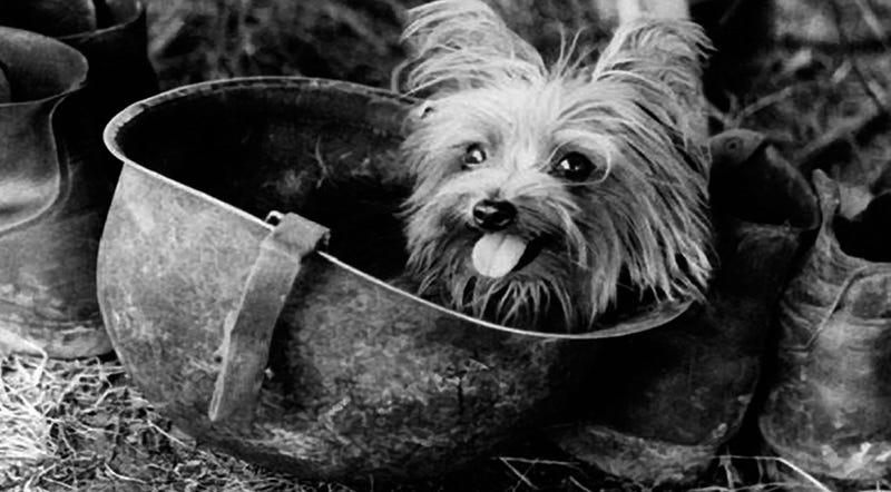 Illustration for article titled Cómo un pequeño Yorkshire Terrier salvó a 250 soldados y se convirtió en héroe de la Segunda Guerra Mundial