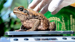 Illustration for article titled Scientists Use Seduction To Catch Lady Toads