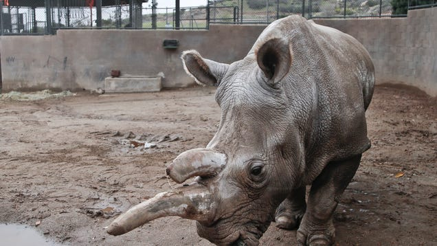 angeles rhino status