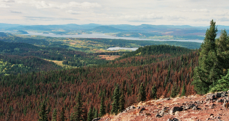 A view from Mt. Fraser, Wyoming, shows thousands of dead and dying trees that have succumbed to bark beetle infestations. Image: Wikimedia