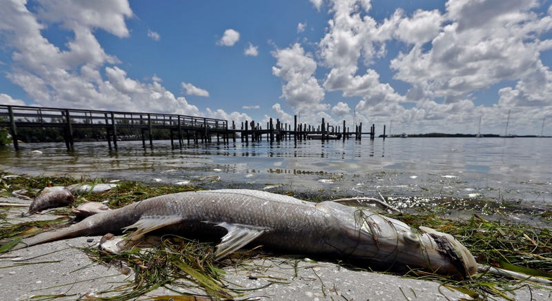 Illustration for article titled Why Is Florida's Red Tide Outbreak So Bad Right Now?