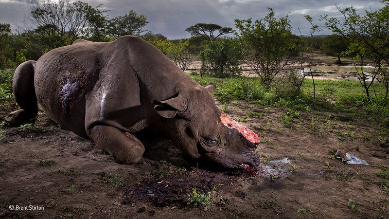 Image: Brent Stirton/ Wildlife Photographer of the Year