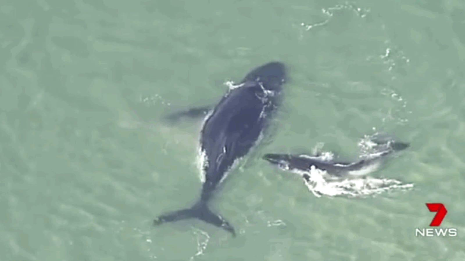 Una desesperada cría de ballena intenta desencallar a su madre de la arena