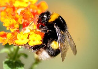 Illustration for article titled Bumblebees are the latest animals to be dying for no apparent reason