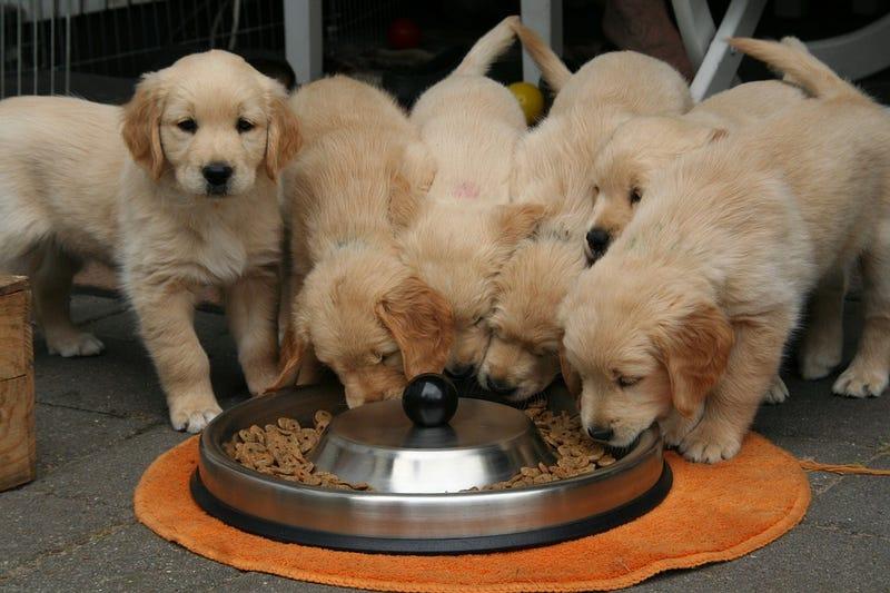 Illustration for article titled Estados Unidos vincula estas 16 marcas populares de comida para perros a la enfermedad cardíaca canina