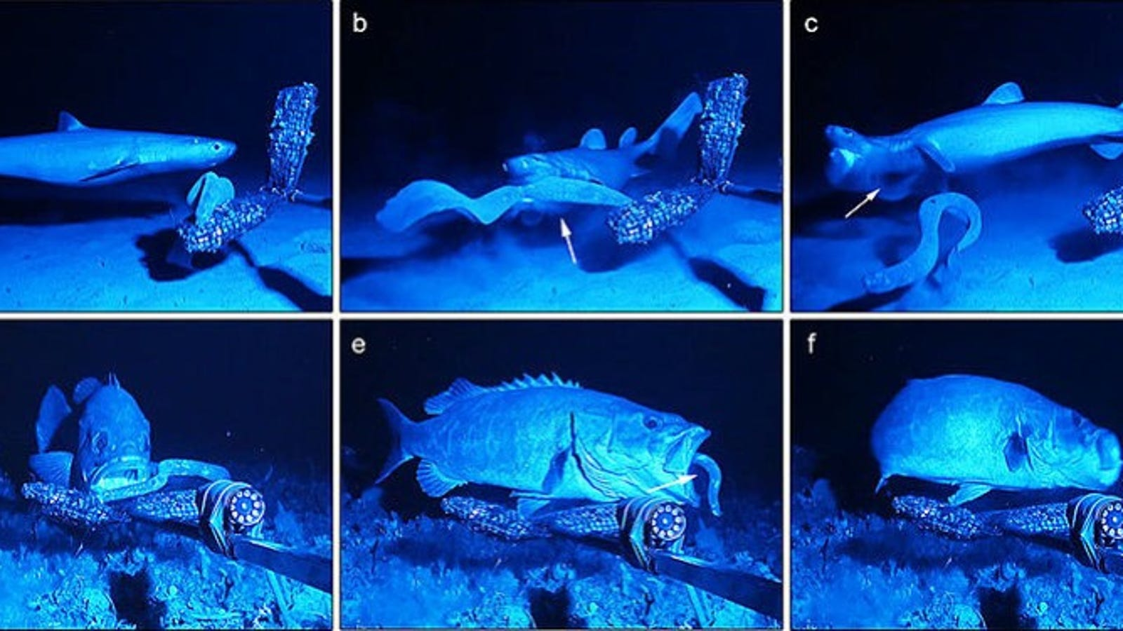 Disgusting Fish Slime Is an Amazingly Versatile Material for hagfish slime shark  186ref
