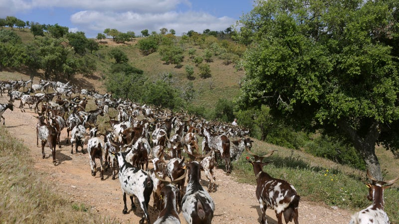 Goats used to clear brush in Portugal's Algarve region, 2018.