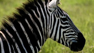 Illustration for article titled How The Zebra Actually Got Its Stripes