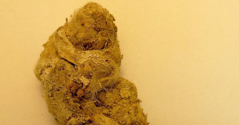 Illustration for article titled El interior de esta caca de puma prehistórica revela una inesperada sorpresa para la ciencia