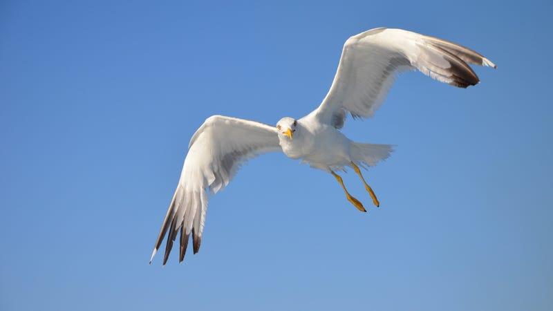 A yellow-legged gull in Italy.