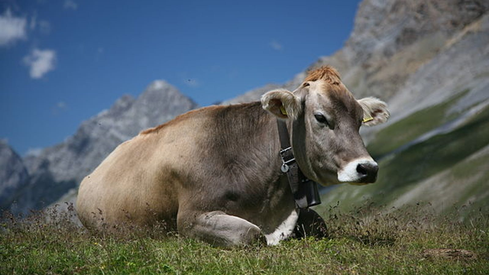 """The Atomic Energy Commission Once Put A """"Nuclear Heart"""" In A Cow"""
