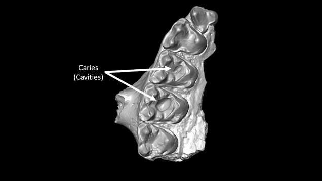 Scientists Discover Oldest Cavities Ever in Mammals