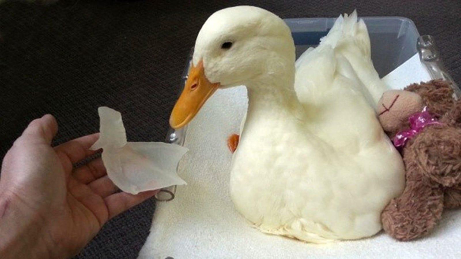 Un pato vuelve a caminar gracias a una impresora 3D