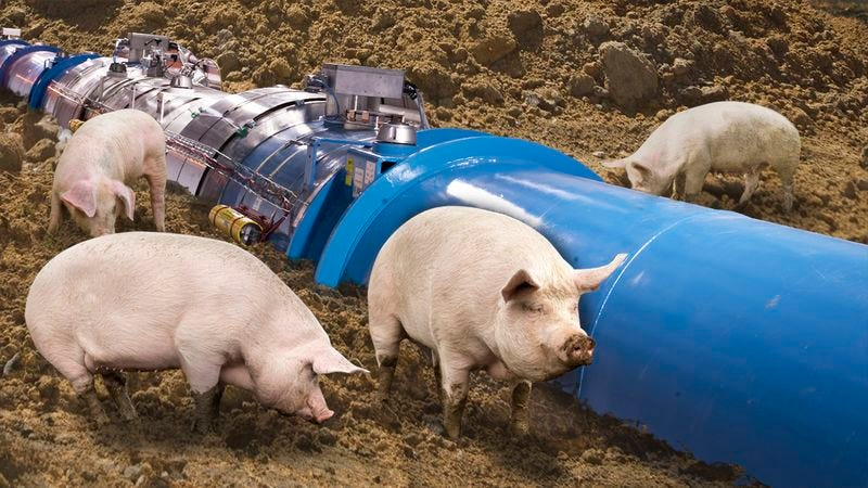 Illustration for article titled Scientific Setback: A Group Of Wild Pigs Keeps Digging Up The Hadron Collider