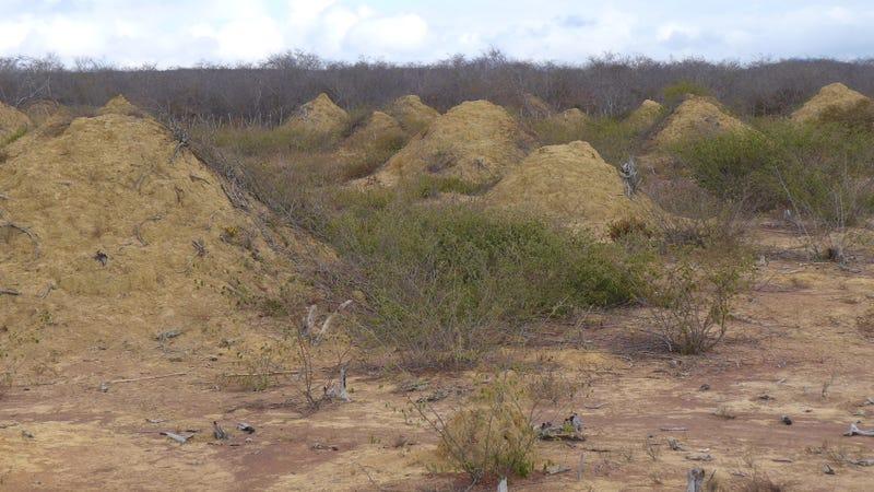 Montículos de termitas que permanecían ocultos bajo la densa vegetación de la caatinga. Los campos que se muestran aquí son visibles porque la tierra fue despejada para el pastoreo.