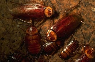 Illustration for article titled Remote-Controlled Roaches: The Next Front Line in Nuclear Defense