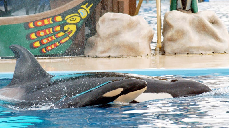 Illustration for article titled SeaWorld Officially Gives Up on Having Their Trainers Swim with Orcas
