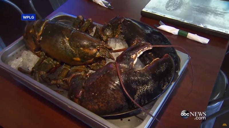 Larry the (unfortunate) lobster, seen here still alive (ABC News via YouTube)