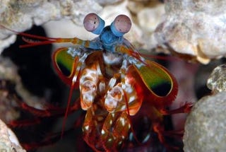 Illustration for article titled Your Next-Generation DVD May Be Made From Mantis Shrimp Eyes